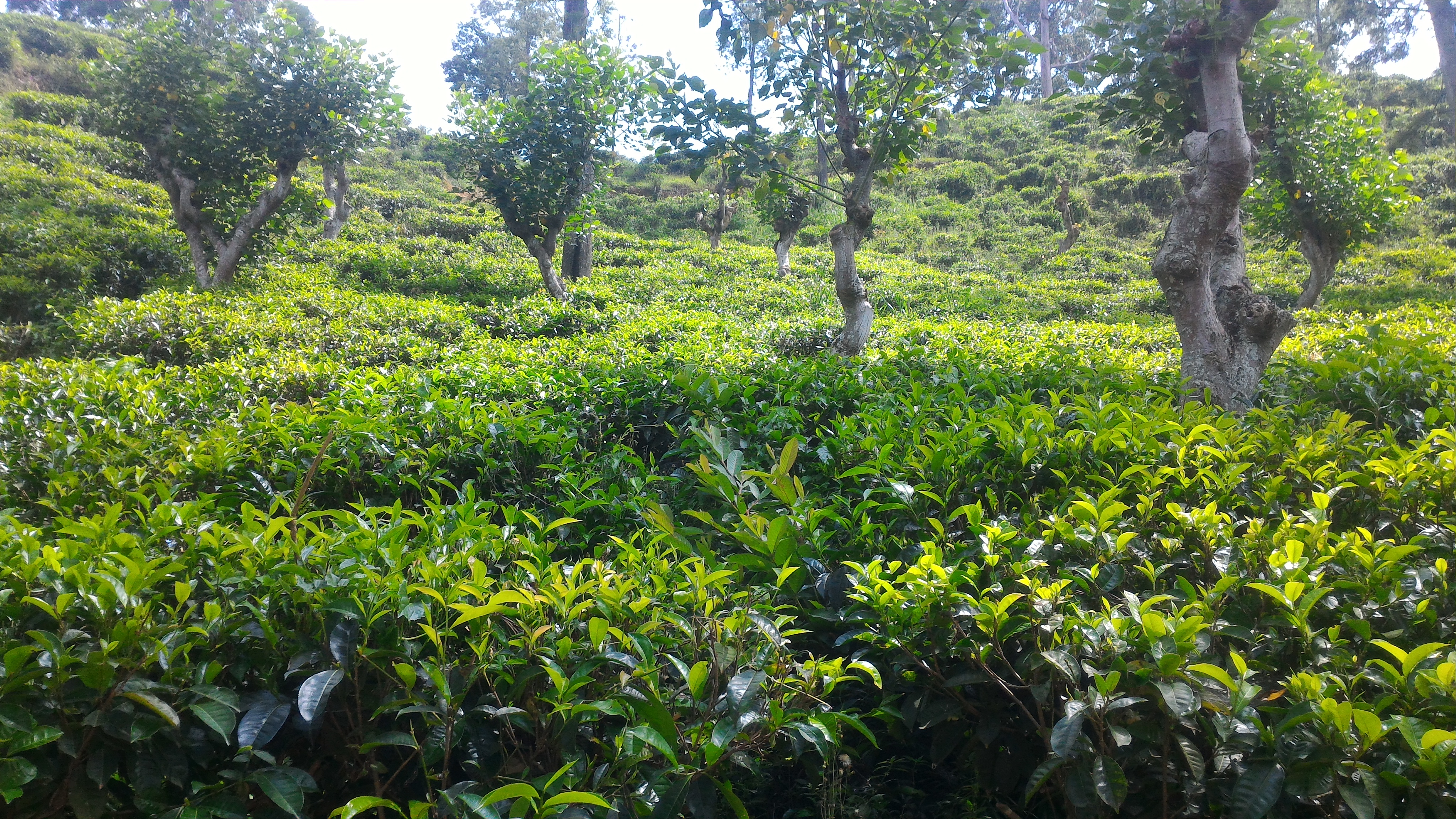 выращивается чай на Шри-Ланке